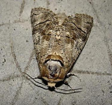 Cossus cossus - Gros papillon de nuit dangereux ...