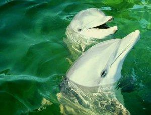 Particularit s de l 39 anatomie des dauphins animaux animal for Fenetre mandibulaire